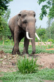 Asian Elephant in the lush green grass. Stock Photo