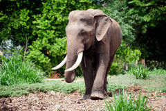 Asian Elephant in the lush green grass. Royalty Free Stock Photo