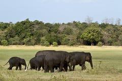 Asian elephant in Minneriya, Sri Lanka Stock Photos