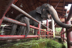 Asian elephant mother and baby Royalty Free Stock Photos