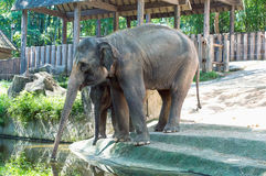 Asian elephant mother and baby. Thailand royalty free stock image