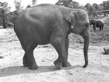 Asian elephant in natural habitat. Black and white. Stock Photo