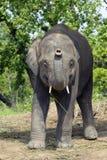 Asian Elephant of Nepal. Young male Asian  elephant (Elephas maximus) in the elephant breeding center, Sauraha, Nepal Stock Image
