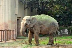Asian Elephant Nose Feeding Royalty Free Stock Photo