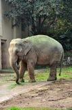 Asian Elephant Nose Feeding Royalty Free Stock Images