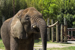 Asian Elephant - Pachyderm Royalty Free Stock Images