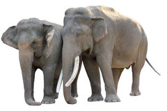 Asian Elephant pair, Isolated Stock Photos