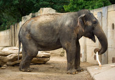 Asian elephant playing with stick. In Prague zoo Stock Photography