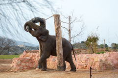 Asian Elephant playing with a tyre. Royalty Free Stock Images