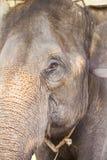 Asian elephant portret Royalty Free Stock Photos