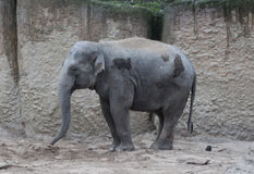 Asian elephant potrait Royalty Free Stock Photography