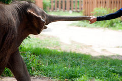 Asian elephant reaching out with trunk by mahout. Baby Asian elephant reaching out with trunk by mahout Royalty Free Stock Photo