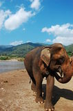 Asian elephant at river Royalty Free Stock Photos