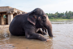 Asian Elephant in River. Closeup shot of a sacred Asian elephant ready for the morning bath. This Elephant belongs to the Virupaksha temple in hampi and gets the royalty free stock images