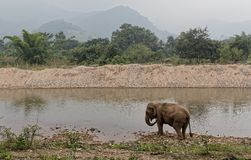 Asian elephant by the river in Thailand. An asian elephant stands near the river in rural Thailand at the Elephant nature park. This reserve protects wild and royalty free stock photography