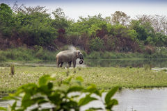 Asian elephant in the riverbank in Bardia National Park, Nepal Royalty Free Stock Photo