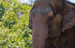 Asian elephant at the San Diego Zoo in summer lifts his trunk stock photos