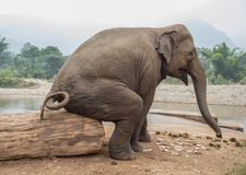 Asian elephant seated on a log in Thailand. Asian elephant sits on a cement post in a elephant nature park refuge for wild and abused elephants. Comical stock photo