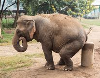 Asian elephant seated on a post in Thailand. Asian elephant sits on a cement post in a elephant nature park refuge for wild and abused elephants. Comical royalty free stock photos