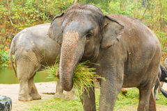 The Asian Elephant shake off the sand stock photography