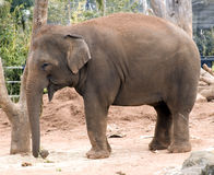 Asian elephant - side view Stock Images