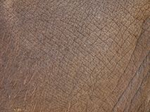 Asian elephant skin closeup Stock Images
