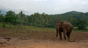 Asian Elephant in Sri Lanka Stock Photo