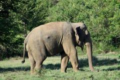 Asian elephant in sri lanka. The Sri Lankan elephant Elephas maximus maximus is one of three recognized subspecies of the Asian elephant, and native to Sri Lanka royalty free stock images