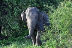 Asian elephant in sri lanka. The Sri Lankan elephant Elephas maximus maximus is one of three recognized subspecies of the Asian elephant, and native to Sri Lanka royalty free stock photo