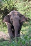 Asian elephant in sri lanka. The Sri Lankan elephant Elephas maximus maximus is one of three recognized subspecies of the Asian elephant, and native to Sri Lanka stock images