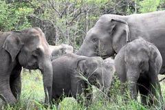 Asian elephant in sri lanka. The Sri Lankan elephant Elephas maximus maximus is one of three recognized subspecies of the Asian elephant, and native to Sri Lanka stock image