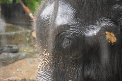 Asian Elephant in Sri Lankan moonson Royalty Free Stock Image
