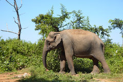Asian elephant standing on the grass, side view Stock Photo