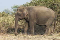 Asian Elephant. Standing near the bushes stock images