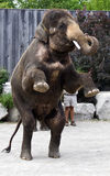 Asian elephant staying on his two legs Stock Images