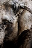 Asian Elephant Study. A tight, close-up image of an old Asian elephant at a big-city zoo (shallow focus stock photo