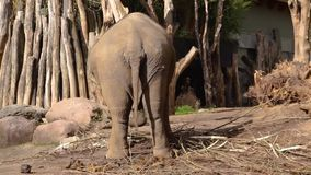 Asian elephant swaying around, Asiatic elephant from behind wobbling, Endangered animal specie from India, zoo animal behavior. A Asian elephant swaying around stock footage