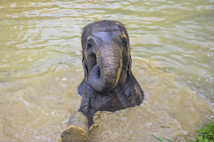 Asian elephant swimming in Thailand. Asian elephant swimming in a muddy lake in Thailand Royalty Free Stock Image