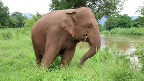 Asian elephant in Thailand stock video footage