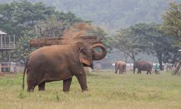 Asian elephant throwing dirt on back Royalty Free Stock Image