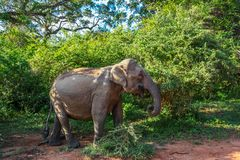 Asian elephant among the trees in Yala National Park. Asian elephant eating the green leaves with its trunk in Yala National Park in Sri Lanka royalty free stock image