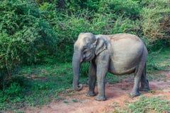 Asian elephant among the trees in Yala National Park. Asian elephant standing among the green trees in Yala National Park in Sri Lanka stock images