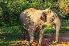 Asian elephant among the trees in Yala National Park. Asian elephant walking among the green trees in Yala National Park in Sri Lanka stock photo