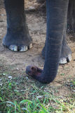 Asian elephant trunk detail Royalty Free Stock Photography