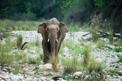 Asian elephant tusker Stock Images