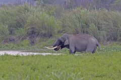 Asian elephant tusker drinking water Royalty Free Stock Images