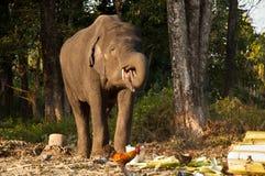 Elephant feeding Royalty Free Stock Images