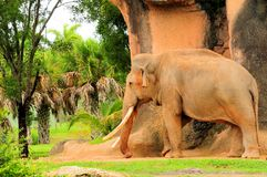 Male Asian elephant walking Stock Photography