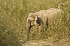 Asian elephant walking in Bardia national park, Nepal Stock Image