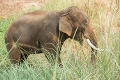 Asian elephant walking and eating grass Royalty Free Stock Image
